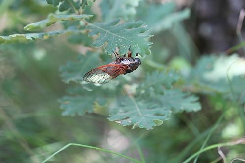 red winged cicada