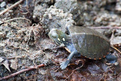 Our Baby Painted Turtle (Chrysemys picta)-56.jpg