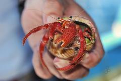 Sebastian (photolupi) Tags: sardegna italia mare santantioco conchiglia sulcis tirreno paguro crostaceo pagurusbernhardus photolupi pescaturismoiduefratelli