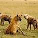 As carnivoras hienas