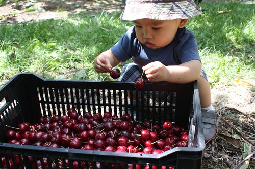 Cherry Picking in Osoyoos