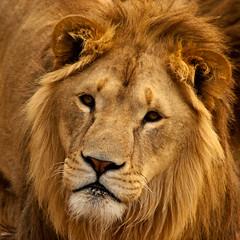 Lion - saxman1597