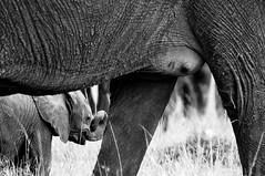 Wildlife Motherhood (Ahmad Al Maousherji) Tags: elephant kenya wildlife mara kuwait massai motherhood