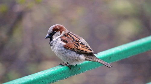 Moscow Sparrow by padshewscky