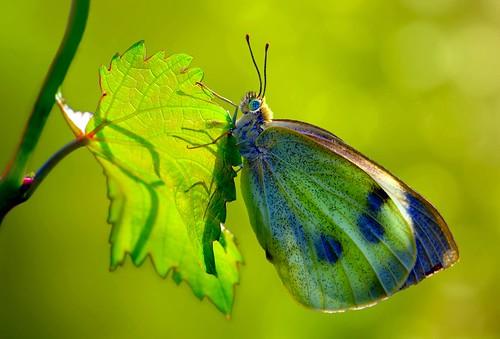 Explore:Pieris rapae of vine leaf...!!