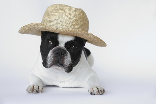 French Bulldog Chikuwa in his new hat