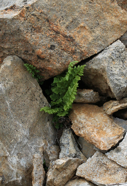 fern amid the rocks