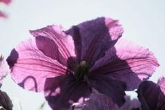 Backlit (Tony Tooth) Tags: flower nikon purple buckinghamshire clematis translucent backlit bucks d90