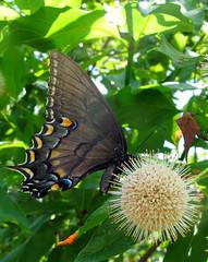 Black Eastern Tiger Swallowtail (langkawi) Tags: butterfly papillon missouri langkawi powellgardens blackswallowtail schwalbenschwanz naturesfinest papiliopolyxenes schwarzer kadam kadamb neolamarckiacadamba schwetterling macromagister কদমকদম্ব