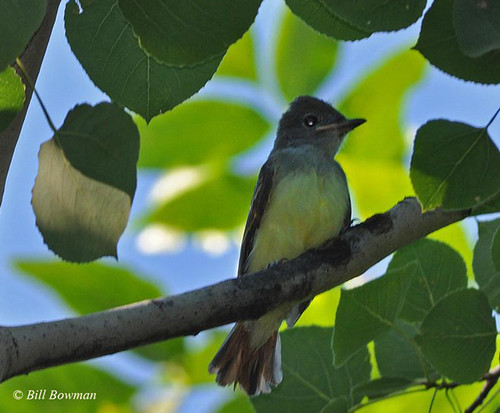 Great-crested-Flycatcher-DSC_0015