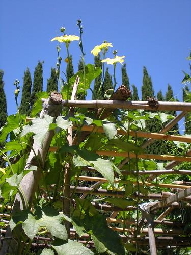 luffa gourd flowers
