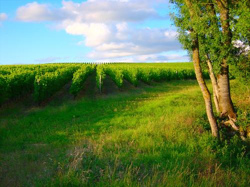 Vineyard by Danalynn C