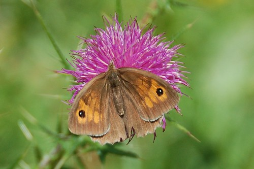 butterfly meadow brown