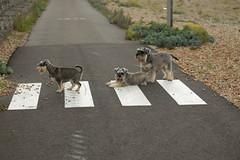 Abbey Road (Mike Jackson1) Tags: beach dogs crossing schnauzer zebra abbeyroad