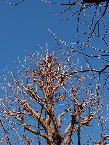 田園調布 枯れ木