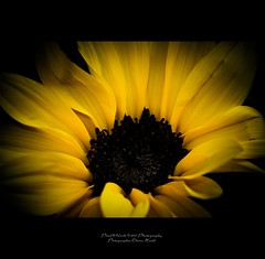 Sunflower-Design (oliver's | photography) Tags: photoshop canon eos flickr raw image  adobe sunflower copyrighted pixelwork oliverhoell pixelwork11photography allphotoscopyrighted