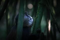 Golden Monkeys, Volcanoes National Park, Ruhengeri, Rwanda (monsieur I) Tags: world life africa travel nature animal animals canon wildlife rwanda monkeys afrique goldenmonkeys nohuman canonef70200mmf4lisusm canoneos7d monsieuri