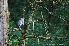 Blue Heron - 1 (sleestack-photog) Tags: bc blueheron johns chilliwack vedderriver canoneos5dmkll tokinaatxaf80400f4556