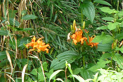 瀬上市民の森のヤブカンゾウ(Lily, Segami Community Woods)