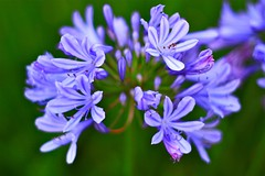 Agapanthus ( African Lily ) (Liping Photo) Tags: california blue usa flower agapanthus canont2i