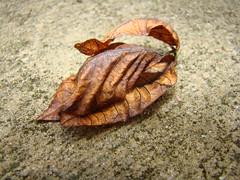 Dead Leaves in my Driveway -:- 7787 (buddhadog) Tags: brown macro leaves upclose bdw gamewinner 2wins gamewin pregamewinner