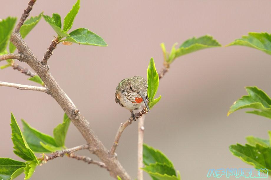 Allen's Hummingbird 080111