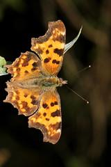 Schmetterling / Buttefly / Papillon / Falter : ... am Ufer der S.aane - S.arine ob Laupen im Kanton Freiburg in der Schweiz (chrchr_75) Tags: hurni christoph schweiz suisse switzerland svizzera suissa swiss chrchr chrchr75 chrigu chriguhurni 1107 juli 2011 schmetterling schmätterling sommervogel summervogu schmetterlinge lepidoptera falter insekt insekten natur nature butterfly papillon バタフライ borboleta баттерфляй mariposa tier fauna บัตเตอร์ฟลาย albumschweizerschmetterlinge chriguhurnibluemailch juli2011 albumzzz201107juli hurni110731