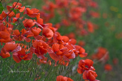 poppyes.. (paololivorno) Tags: autumn winter red summer verde green country campagna evergreen tuscany poppy toscana reds rosso papaveri paololivorno fleursetpaysages paolobrunetti