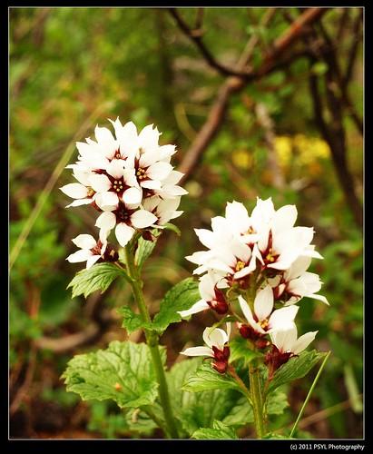 Bear Flower (Boykinia richardsonii)