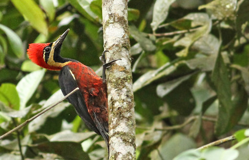 Crimson-bellied Woodpecker - Tapichalaca, Ecuador - April 2011 by grallaria