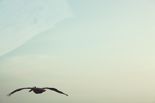 Pensacola pelican