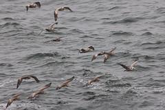 Pelecanus occidentalis Brown Pelican (David A. Hofmann) Tags: california bird birds sonomacounty bodegabay brownpelican pelecanusoccidentalis