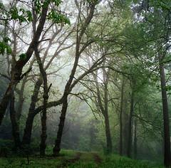 to wander softly, and breathe easily (manyfires) Tags: park mist green film fog oregon square portland landscape mood hasselblad trail pacificnorthwest pdx medium format lush oregoncity hasselblad500cm oldcanemahpark