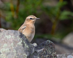 Hide and Seek (Andrew Haynes Wildlife Images) Tags: bird nature rugby wildlife warwickshire wheatear draycotewater ajh2008