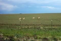 High Plains Antelope