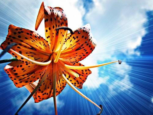 フリー写真素材, 花・植物, 百合・ユリ, オレンジ色の花,