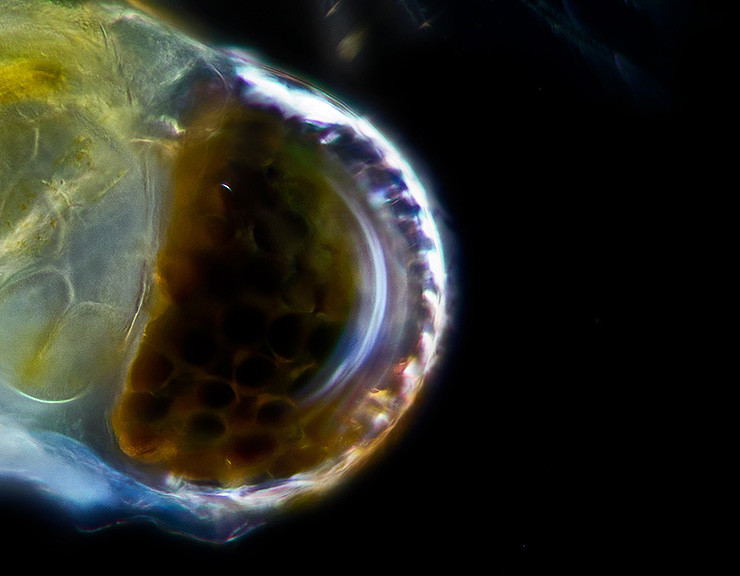 Eye of a water flea
