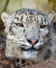 Cat Survival Trust - July 2011 (patrick-walker) Tags: snow cat canon patrick walker leopard bigcat snowleopard 50d canon50d anawesomeshot catsurvivaltrust flickrbigcats wwwpatrickwalkerphotographycom