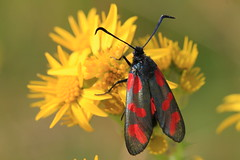 Burnet Moth (Chris*Bolton) Tags: ireland flower nature insect moth soe burnetmoth rathdrum bej mywinners citrit theunforgettablepictures naturewatcher goldstaraward