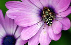Calliphoridae (* RICHARD M (Over 5.5 million views)) Tags: flowers macro nature fly insects botany blowfly calliphoridae syrphida