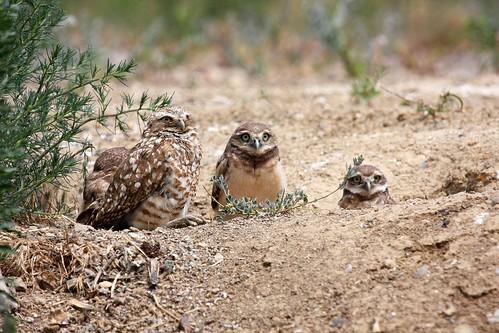 1burrowing owl2 dave harper oakley