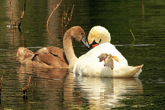 Love Connection (shelshots) Tags: family love nature child affection mother swans juvenile muteswan