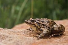 Discoglossus scovacci (David Herrero Glez.) Tags: verde frog toad sapo amphibians comun rana bufo viridis anfibio pictus mauritanicus anuros discoglossus galganoi jeanneae anures taxonomy:binomial=discoglossusscovazzi