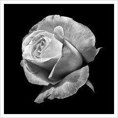 Silk Rose* (FiddleFlix) Tags: flowers blackandwhite bw white black flower macro nature monochrome rose canon blackwhite nc northcarolina arboretum explore jcraulstonarboretum paulmalcolm silverefex fiddleflix