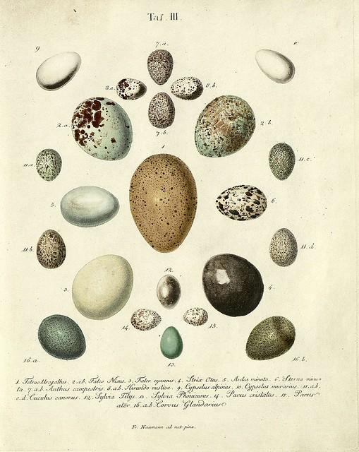 Die Eier der Vögel Deutschlands f, 1818