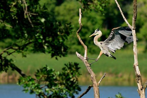 Heron Landing DSC_1085