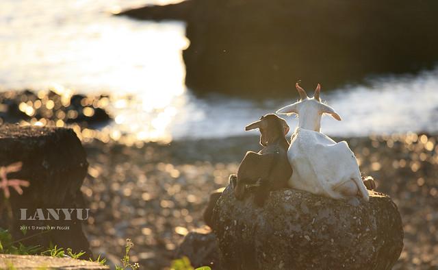 蘭嶼 山羊