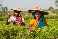 Tea Picking Outside Srimongal, Bangladesh (uncorneredmarket) Tags: people women tea bangladesh teagardens teaestates manuallabor srimongal teaplantations ruralbangladesh teapickers sethead sylhetdivision sreemangal