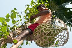 Picking Betel Leaves at Khashia Village - Srimongal, Bangladesh (uncorneredmarket) Tags: tree bangladesh indigenous betel dpn srimongal betelleaves khashia pickingbetelleaves
