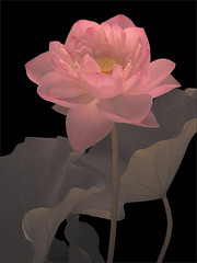 Lotus Flower: IR+RGB CS3 - DSIR2564 (Bahman Farzad) Tags: flower macro yoga peace lotus relaxing peaceful meditation therapy lotusflower lotuspetal lotuspetals lotusflowerpetals lotusflowerpetal